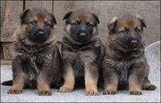 красивые щенки Немецкая овчарка