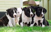 Лучший дом поднял питбуль собаки щенки